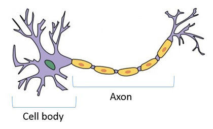 Axons and cell bodies